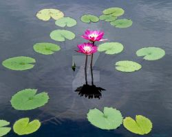 Concentric Force Water Lily by chimeramindstudio