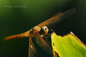 Odonata's Surveillance by asianrabbit