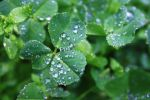 Bunches of Clovers by mudermeart