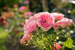 Pink Roses by sztewe