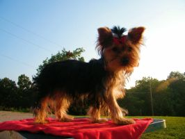 Red Carpet Walk. by Show-us-Yorkies