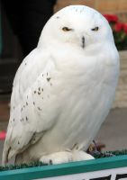 HARRY POTTER studio sets tour ,HEDWIG by Sceptre63