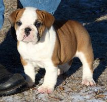 Amelia by NobleBulldogges