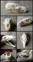 Grey Fox Skull by CabinetCuriosities