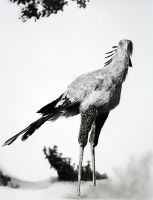 Secretary Bird drawing by sharppower