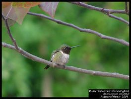 Ruby-throated Hummingbird by Aideon