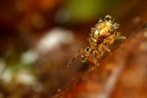 Globular Springtail 11 by Alliec