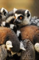 Lemur Pile by Shadow-and-Flame-86