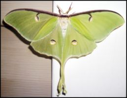 Luna Moth by cosmosue