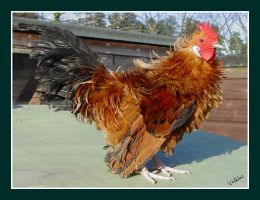 Frizzle Dutch Bantam Cockerel by Volklet