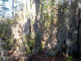 National Park Hanging Moss 1 by MOGGGET