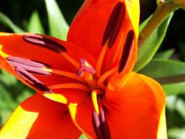 orange lilly by RBrownKreationz