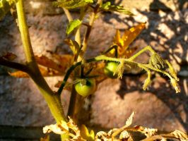 Tomato Plant by Thundred