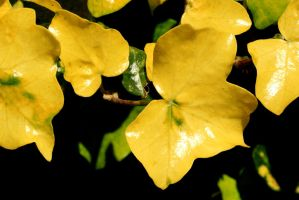 Yellow Ivy by amyhooton