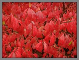 Red leaves. DSCN3397, with story by harrietsfriend