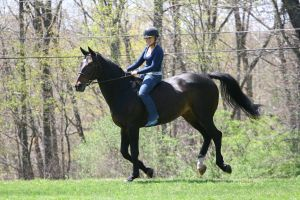 Bay Dutch Warmblood Gelding Riding Bareback by HorseStockPhotos