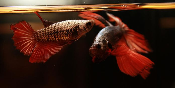 Red Cooper Feather Tail Betta male and female RT by HappyBettas