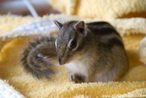 chipmunk on the bathrobe VI by Philophobos