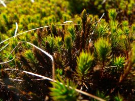 Meadow Moss by Llammastache