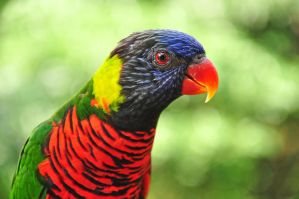 Portrait of A Beautiful Lory by streetraven