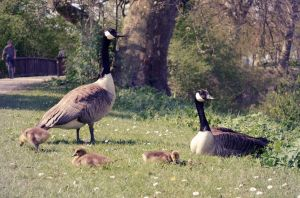 baby geese are back in town! by KugelKatzenFisch