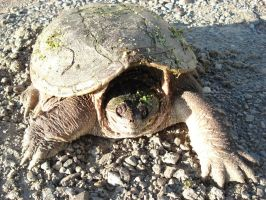 A BIG Female Snapping Turtle by KeswickPinhead