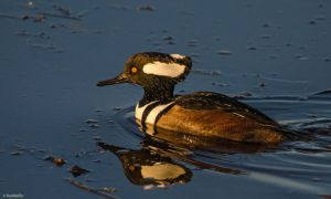 Merganser Mission II by TerribleTer