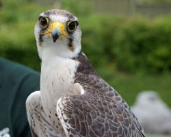 Lanner Falcon 2 by asaph70