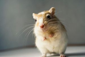 Dolly the gerbil by allson