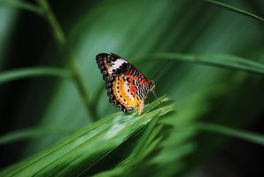 Butterfly on a leaf by SaajidAkram