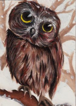 Northern saw-whet owl by Chayt