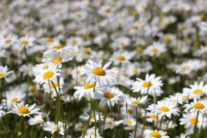 Field of Daisies-2 by Rea-the-squirrel