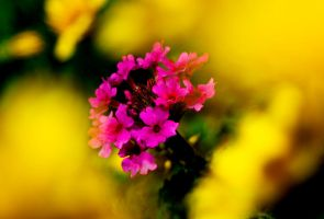 Yellow and Purple by StephensPhotos