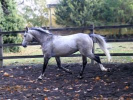 Grey Stallion 3 by LadyAyslinn