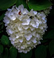 Bundle of white flowers (1 of 1) by alucard214