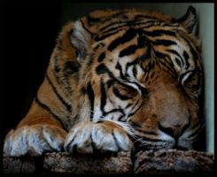 tiger: sleep well, sweet kitty by morho