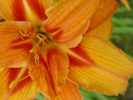 Vibrant Lilly by HRLSS-Photography