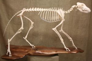 Timber Wolf Skeleton by Mad-Taxidermist