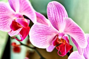 Orchid by gjheitz
