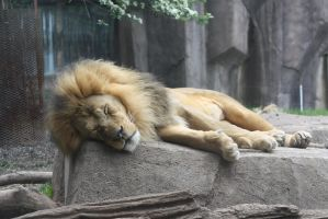 Snoozing lion by cheetahmikey