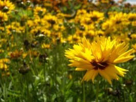 Yellow Flowers.. by cncplyr