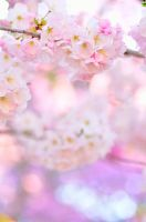 Cherry Blossom Pale Gradient by simzcom