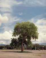 Cottonwood Tree by Cadha13