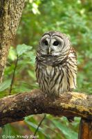 Barred Owl by IrishRaine