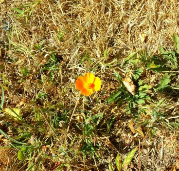 A Lone Poppy  by VardaniaSolas