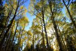 Flagstaff Fall - Aspen Grove by Elentine