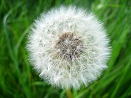 Dandelion Close up by Retardednerd