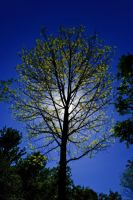 A Spring Tree Illuminated by redwolf518