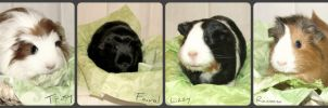 our four new guinea pigs by DragonSouL7