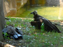 Milwaukee Zoo Two Vultures by Urceola